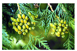 Thuja-occidentalis in Thuja gegen Warzen